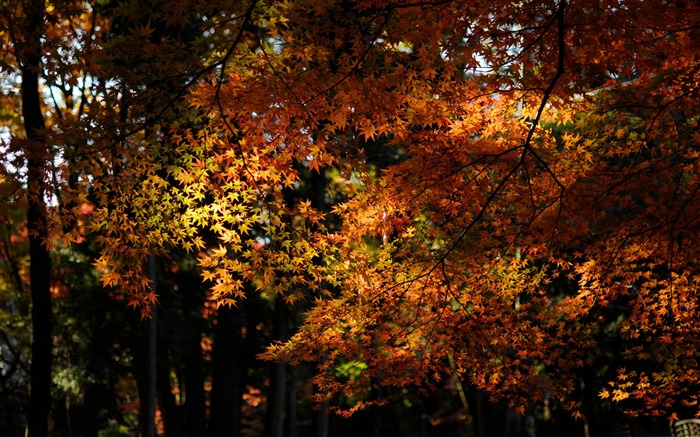 maple forest-Autumn landscape widescreen wallpaper Views:6845 Date:10/16/2012 11:45:00 AM