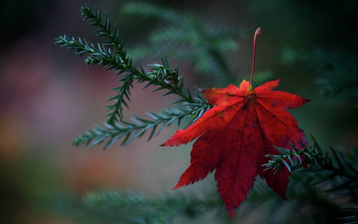 red fallen leaf-Autumn Nature Wallpapers Views:10980