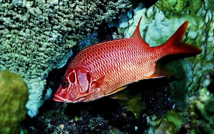 red fish alone-Animal Widescreen Wallpaper Views:8207