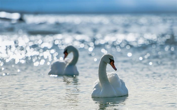 white swans-Animal Widescreen Wallpaper Views:5171 Date:10/18/2012 11:49:22 AM