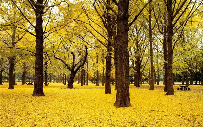 yellow autumn in japan-Autumn Nature Wallpapers Views:12380