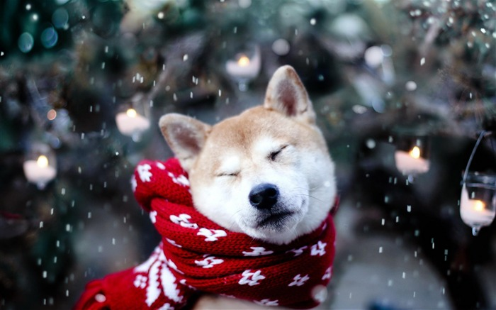 Dog Scarf Snow-2012 animal Featured Wallpaper Views:9490