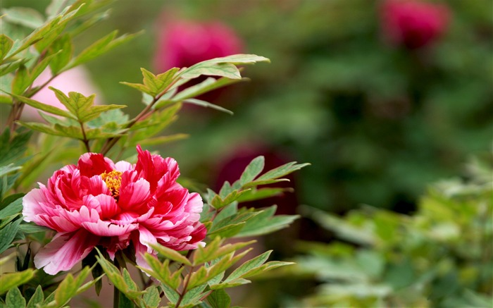 Exquisite Beauty-bright peony flower photography Wallpapers Views:13025