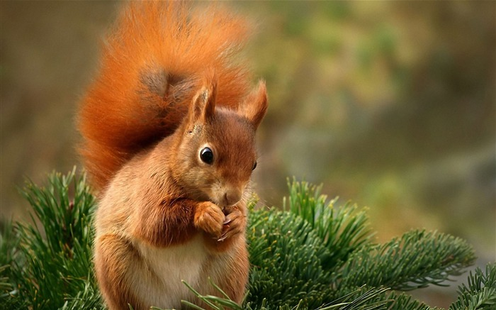 Forest Elf-cute squirrel HD Wallpapers picture 03 Views:23862 Date:11/12/2012 12:25:05 AM