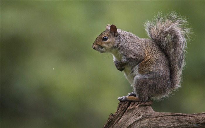 Forest Elf-cute squirrel HD Wallpapers picture 04 Views:4672 Date:11/12/2012 12:25:39 AM