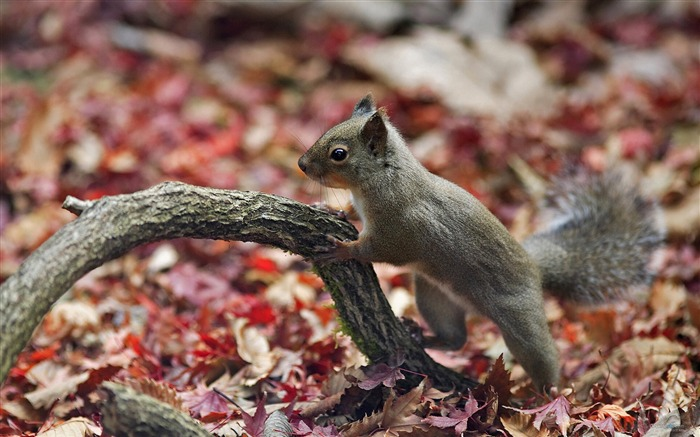 Forest Elf-cute squirrel HD Wallpapers picture 06 Views:5245 Date:11/12/2012 12:26:25 AM
