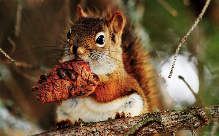 Forest Elf-cute squirrel HD Wallpapers picture 07 Views:6715 Date:11/12/2012 12:26:54 AM