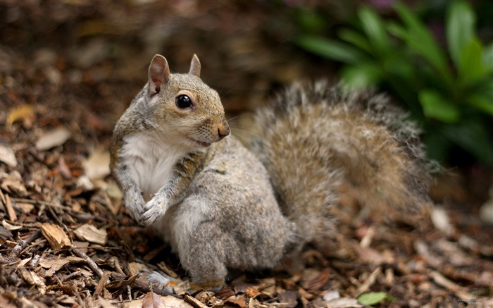 Forest Elf-cute squirrel HD Wallpapers picture 15 Views:5383 Date:11/12/2012 12:30:18 AM