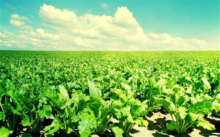 Of vegetable fields in the sunshine-Small fresh landscape wallpaper Views:14429