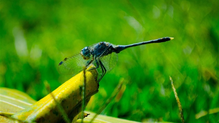 blue dragonfly-2012 animal Featured Wallpaper Views:3025