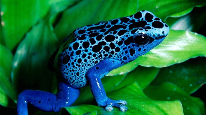 blue frog-2012 animal Featured Wallpaper Views:13039