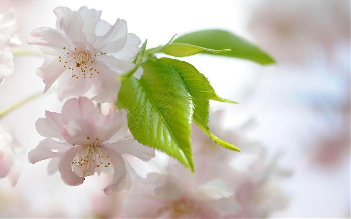 cherry flowers-Flowers and plants wallpaper Views:4892