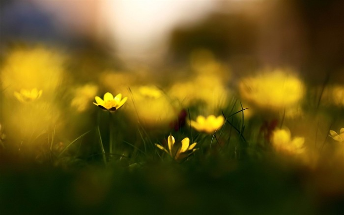 close up yellow flowers-Flowers and plants wallpaper Views:4599