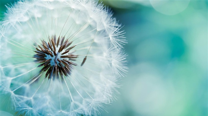 dandelion-Flowers and plants wallpaper Views:7458