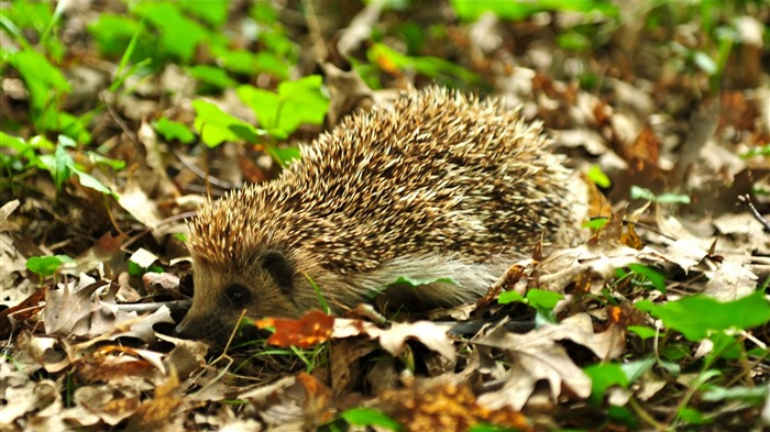 hedgehog in the wood-2012 animal Featured Wallpaper Views:3538