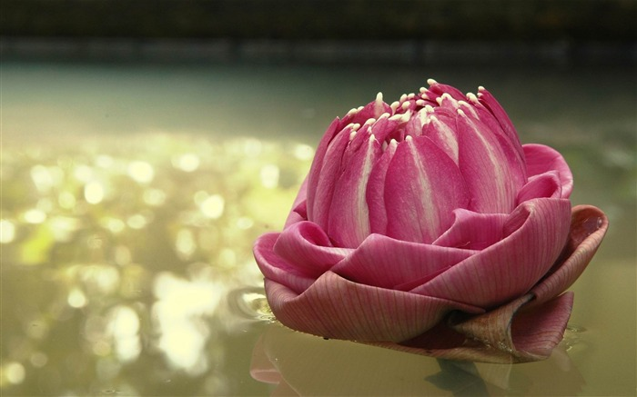 lotus thailand-2012 Natural plant Featured wallpaper Views:3601