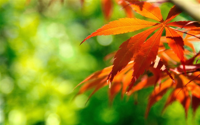 orange fall leaves-autumn of natural scenery Wallpaper Views:14456
