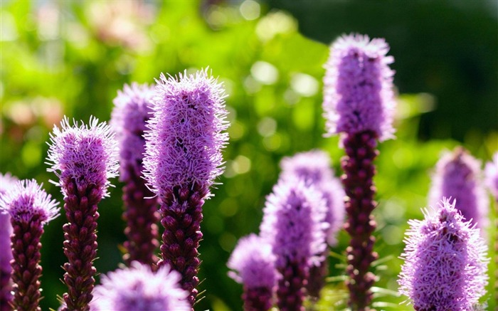 purple flowers-Flowers and plants wallpaper Views:3734
