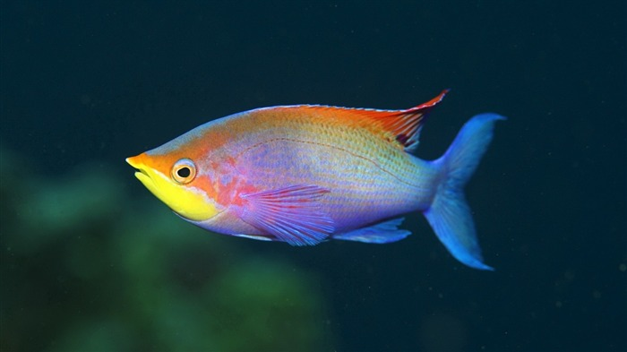 rainbow fish-2012 animal Featured Wallpaper Views:3152