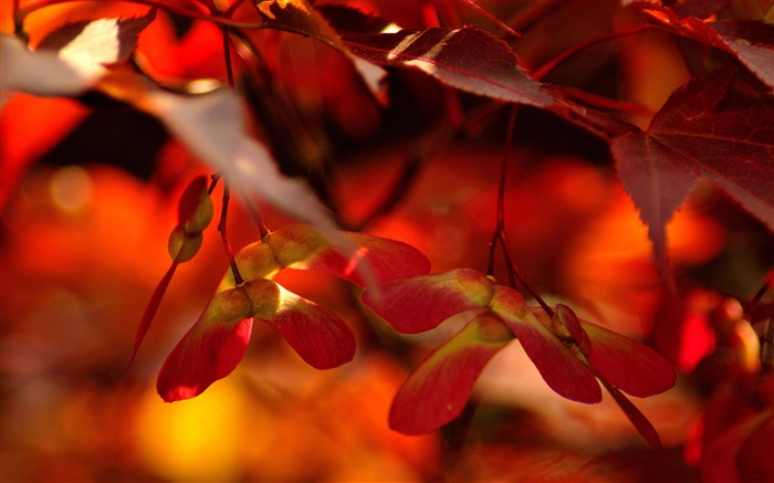 red autumn leaves close up-autumn of natural scenery Wallpaper Views:8148
