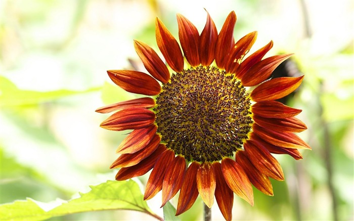red sunflower-Flowers and plants wallpaper Views:9581