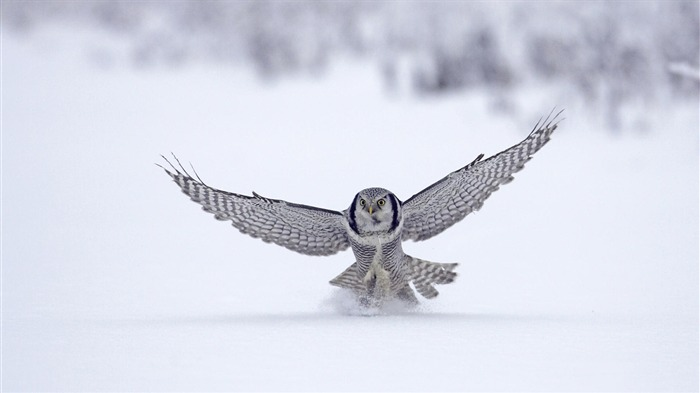 snowy owl-2012 animal Featured Wallpaper Views:8094
