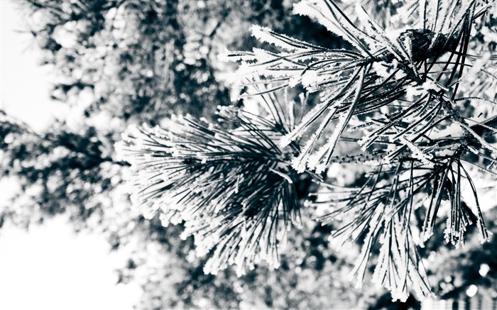 snowy pine needles-Winter natural landscape wallpaper Views:4393