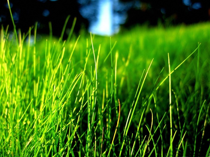 thin grass-2012 Natural plant Featured wallpaper Views:2560