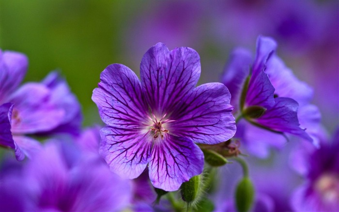 violet flowers-Flowers and plants wallpaper Views:8351