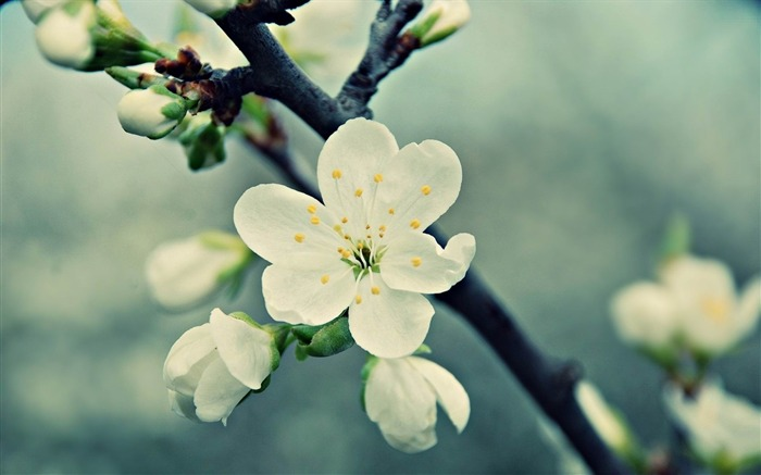 white cherries flowers vintage-Flowers and plants wallpaper Views:7988