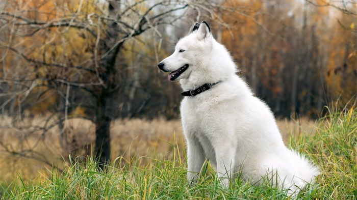 white husky-2012 animal Featured Wallpaper Views:8067