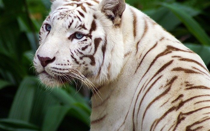 white tiger-2012 animal Featured Wallpaper Views:6207