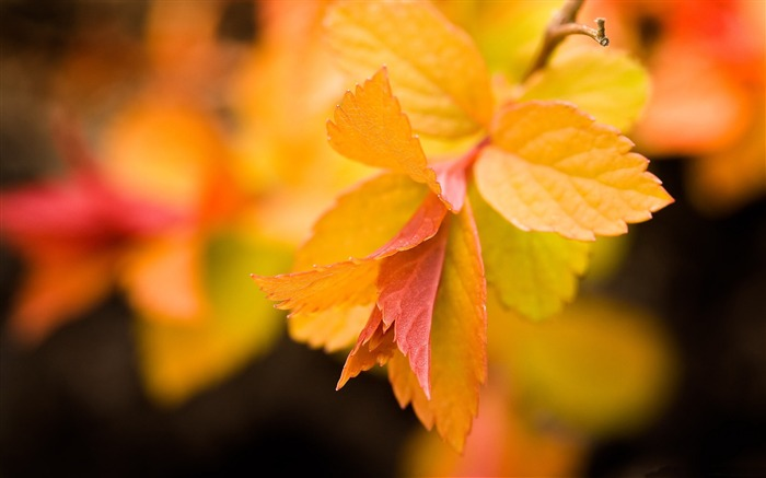 yellow leaves close up-autumn of natural scenery Wallpaper Views:4428