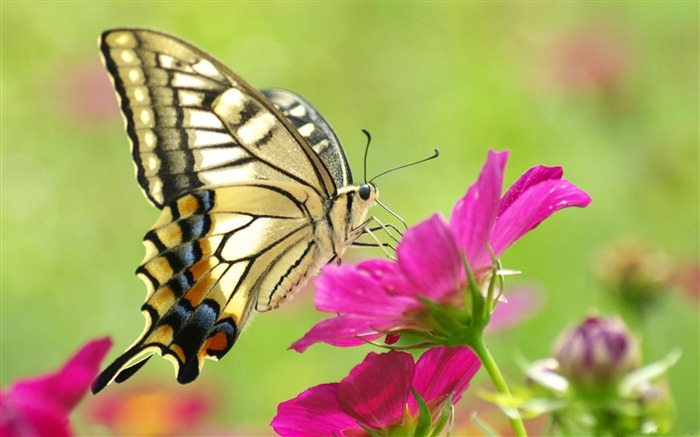 Butterfly Flower-Animal Wizard photography wallpaper Views:18441