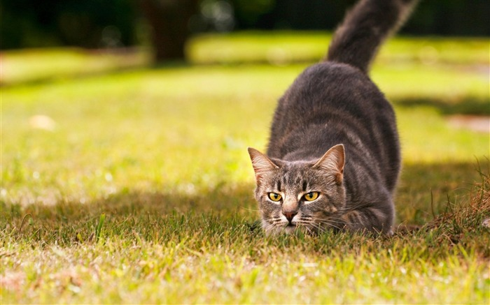 Cat Hunting-Animal Wizard photography wallpaper Views:8103