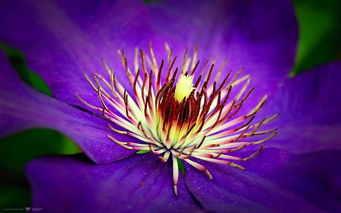Clematis-Fresh flowers photography wallpaper Views:3255