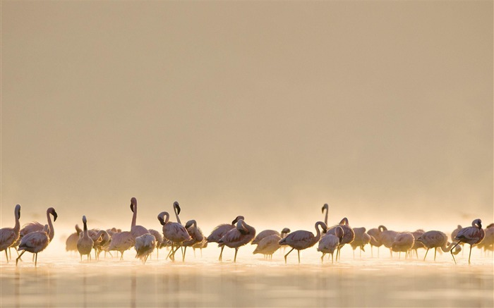 Flamingos-Animal Wizard photography wallpaper Views:5394 Date:12/2/2012 11:34:47 AM