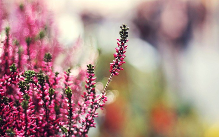 Heather-Fresh flowers photography wallpaper Views:4081