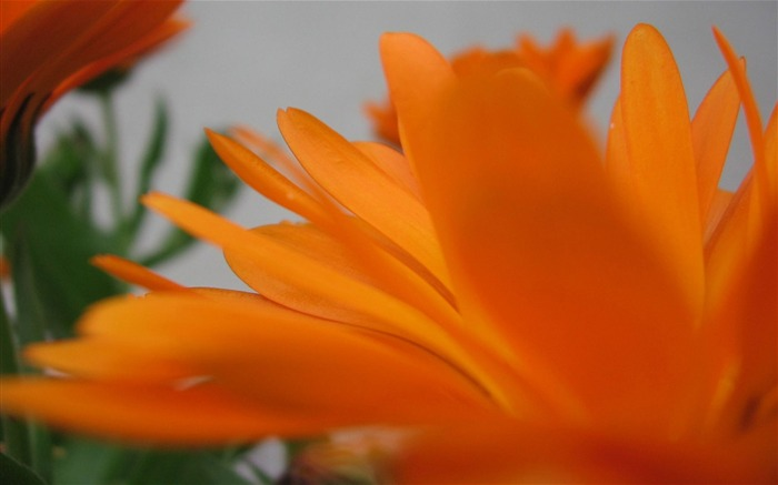 Orange flowers-Ubuntu 10-04 LTS official beautiful Desktop Wallpapers Views:3099