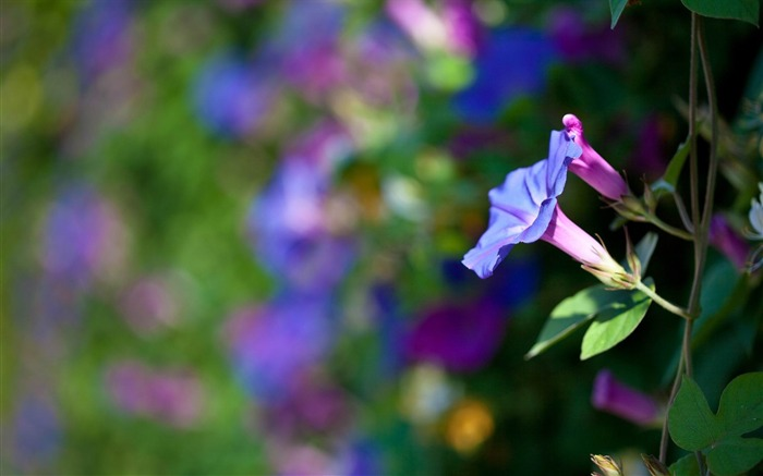 Summer morning glory-Fresh flowers photography wallpaper Views:7230