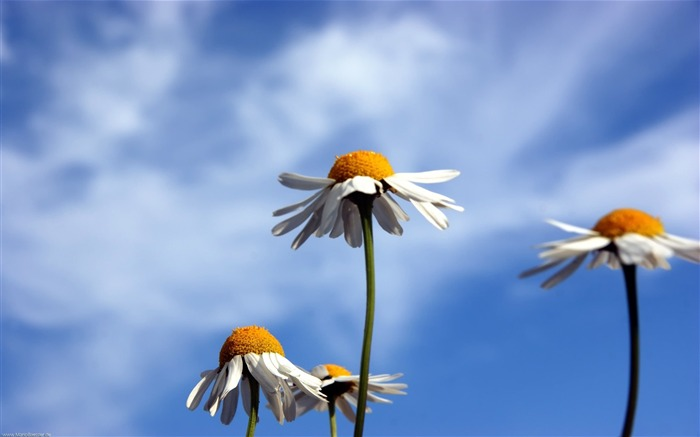 chamomile and blue sky-Beautiful flowers wallpaper Views:5780