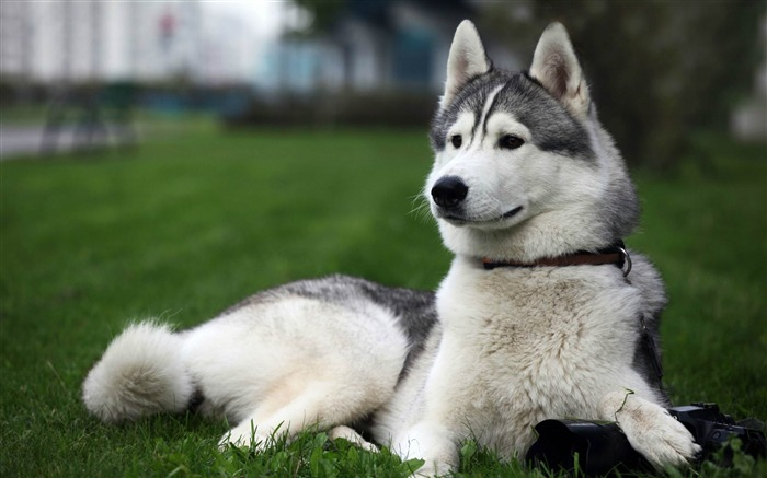 cute husky-Animal Wizard photography wallpaper Views:32597 Date:12/2/2012 11:38:09 AM
