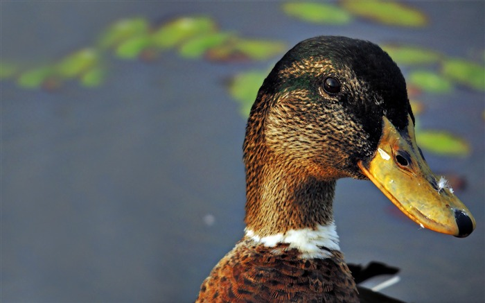 duck-Animal Wizard photography wallpaper Views:3709