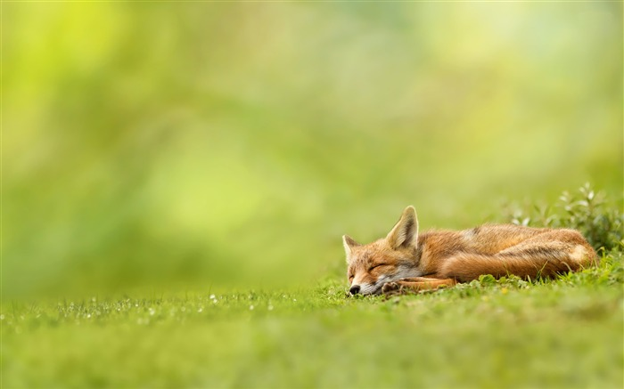 fox-Animal Wizard photography wallpaper Views:5073