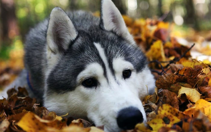 husky-Animal Wizard photography wallpaper Views:8281 Date:12/2/2012 11:37:02 AM