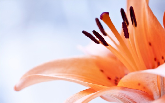 lily flower close up-Beautiful flowers wallpaper Views:5687