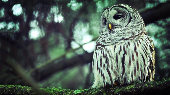 owl-Animal Wizard photography wallpaper Views:5181