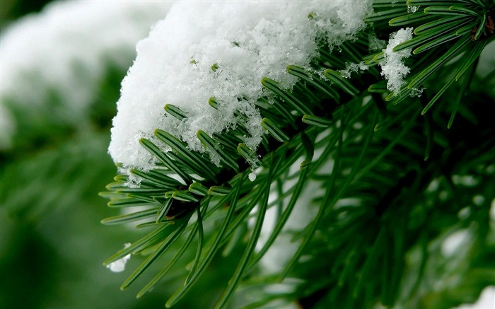 snow and pine-beautiful winter landscape wallpaper Views:4721