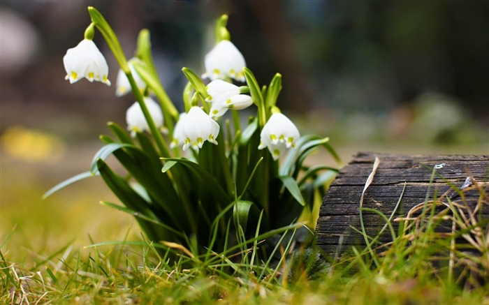 snowdrops-Fresh flowers photography wallpaper Views:4368