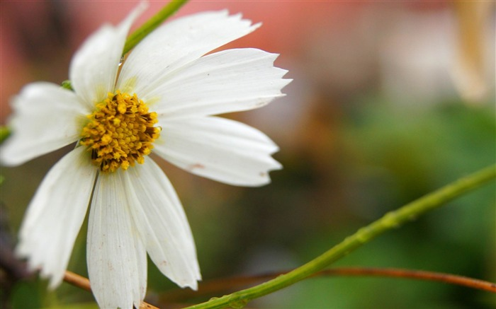 white flower-Fresh flowers photography wallpaper Views:3837